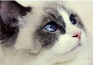 让人一见倾心的布偶猫
